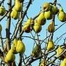 Назван фрукт, помогающий борьбе с лишним весом