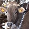 Эксперты считают ограничение поголовья скота глупостью