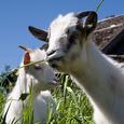 Британские ученые провели занимательный эксперимент с козами
