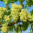Учёные нашли в винограде средство от депрессии