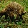 Три новых вида млекопитающих обнаружены в Папуа-Новой Гвинее
