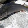 Ученые назвали самую полезную рыбу в мире