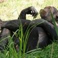 Музыка заставляет шимпанзе танцевать