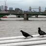 В Лондоне чистоту воздуха будут стеречь голуби