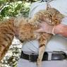 На Корсике обнаружен новый вид кошачьих