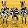 Светофоры – «зебрам»! В стране «отрегулируют» опасные переходы