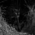 В Африке впервые за 100 лет увидели черного леопарда