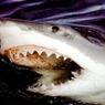 Американец поймал с берега акулу весом более трехсот кг
