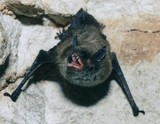 В Австралии прошел черный «дождь» из мертвых летучих мышей