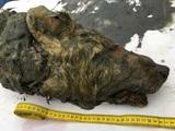 В Сибири нашли прекрасно сохранившуюся голову волка ледникового периода