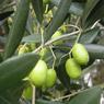 Мировые трагедии множатся: в Европе неурожай оливок