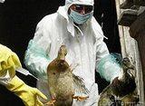 Птичий грипп вернулся в Россию