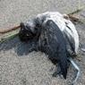 Ученые: таинственная гибель тысяч птиц на побережье США связана со скорым катаклизмом