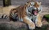 Амурским тиграм не понравился шпионивший за ними квадрокоптер