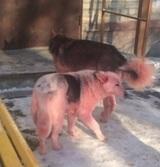 В Тюмени по улицам расхаживают ярко-розовые псы