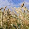 Минсельхоз прокомментировал информацию о возможном повышении цен на хлеб