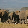 Окончание трехчасового боя слоненка с 3 львицами за жизнь попало на видео