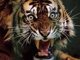 В Барнауле тигр едва не растерзал пробравшуюся в зоопарк школьницу