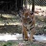 Спасенный президентом Путиным тигр Кузя продался китайцам