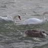 Прокуратура не нашла нарушений в домике за 4 млн.руб для лебедей в Парке Горького