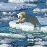 Играющие на тонком льду белые медведи рядом с чукотским поселком попали на видео
