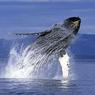 «Китовый конвой» впечатлил миллионы пользователей сети (ВИДЕО)