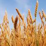 WSJ: РФ может обогнать США и Канаду по экспорту пшеницы
