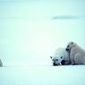 Белые медведи осадили российских ученых и ждут возможности их съесть