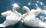 Лебеди заклевали россиянина-купальщика и прославили его на весь мир