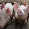 В Приморье возбуждено дело по факту распространения ящура
