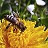 Ученые из США выяснили, что может быть одной из причин вымирания пчел