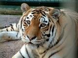 В приграничном с РФ китайском селе жители на машине решили погонять тигра, тот шутить не стал