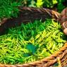 Учёные открыли способность зелёного чая побеждать рак